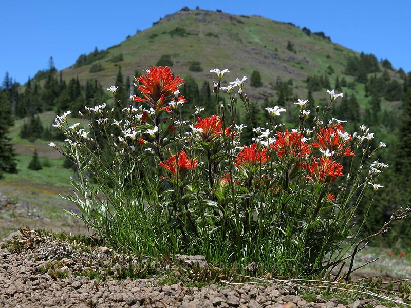 paintbrush, sandwort, & Cone Peak (Castilleja hispida, Eremogone capillaris (Arenaria capillaris)) [Cone Peak Trail, Willamette National Forest, Oregon]