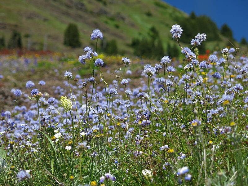blue-head gilia (Gilia capitata) [Cone Peak Trail, Willamette National Forest, Oregon]
