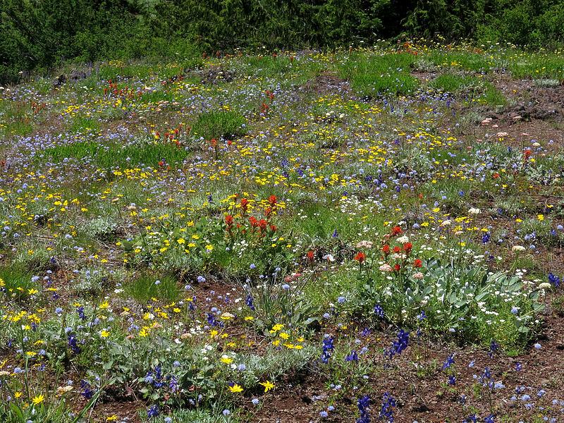 wildflowers (Castilleja sp., Eriophyllum lanatum, Eriogonum compositum, Delphinium menziesii, Cerastium arvense, Gilia capitata) [Cone Peak Trail, Willamette National Forest, Oregon]