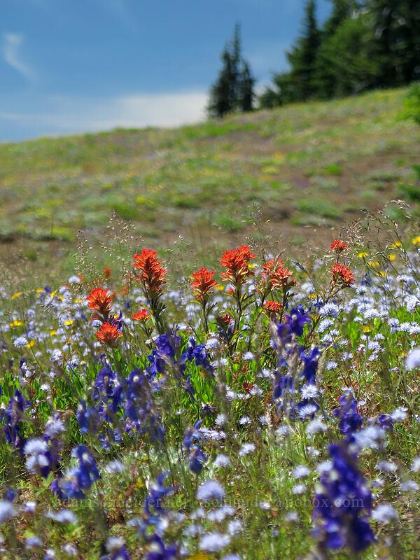 wildflowers (Castilleja sp., Delphinium menziesii, Gilia capitata, Eriophyllum lanatum) [Cone Peak Trail, Willamette National Forest, Oregon]