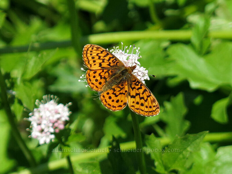 Pacific fritillary butterfly on Sitka valerian (Boloria epithore, Valeriana sitchensis) [Cone Peak Trail, Willamette National Forest, Oregon]