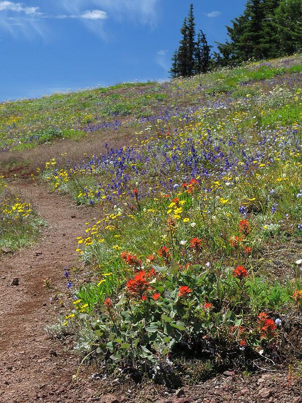 wildflowers (Castilleja hispida, Eriophyllum lanatum, Delphinium menziesii, Calochortus subalpinus, Gilia capitata) [Cone Peak Trail, Willamette National Forest, Oregon]