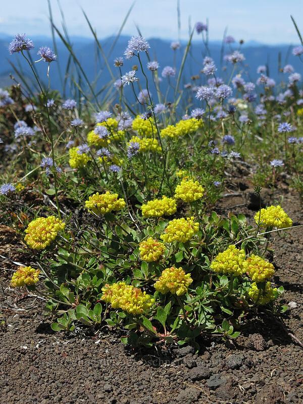 sulphur flower & blue gilia (Eriogonum umbellatum, Gilia capitata) [Cone Peak Trail, Willamette National Forest, Oregon]