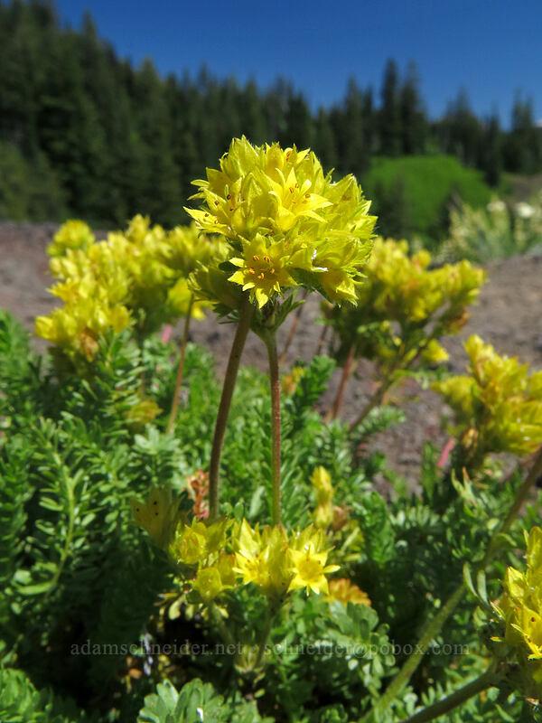 Gordon's alpine ivesia (Ivesia gordonii var. alpicola) [Cone Peak Trail, Willamette National Forest, Oregon]