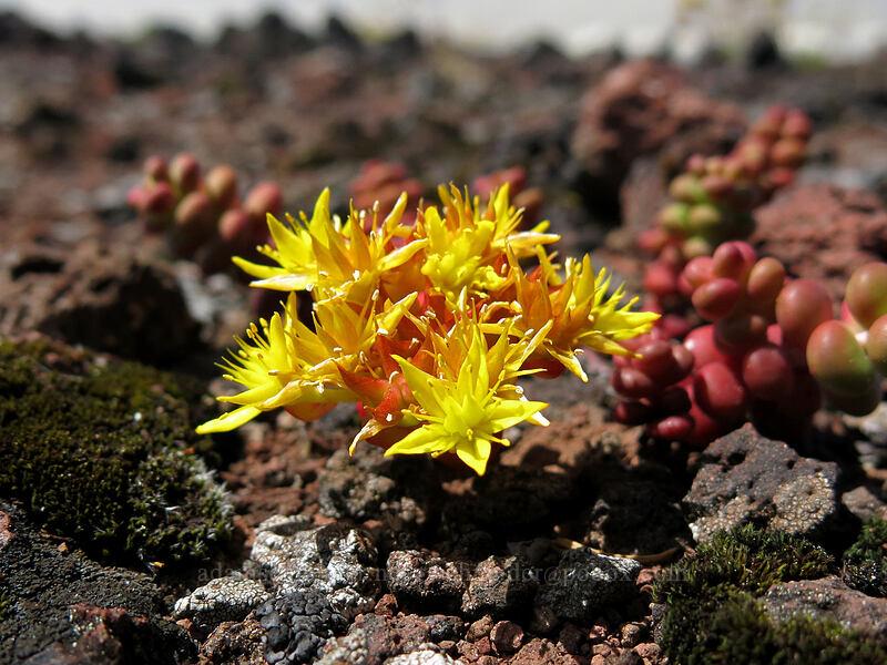Cascade stonecrop (Sedum divergens) [Cone Peak Trail, Willamette National Forest, Oregon]