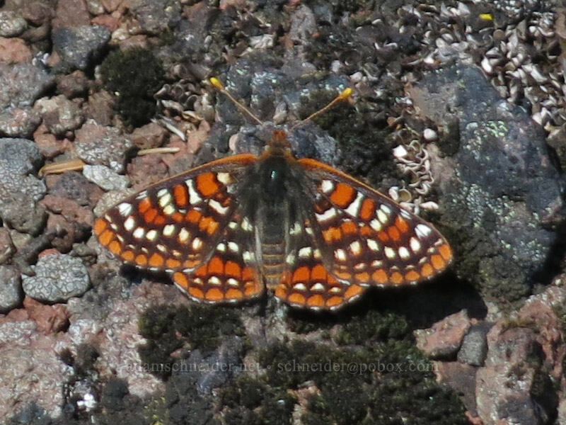 Anicia checkerspot butterfly (Euphydryas anicia) [Cone Peak Trail, Willamette National Forest, Oregon]