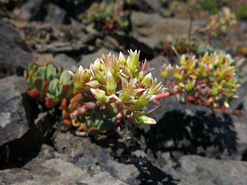 creamy stonecrop (Sedum oregonense) [Cone Peak Trail, Willamette National Forest, Oregon]