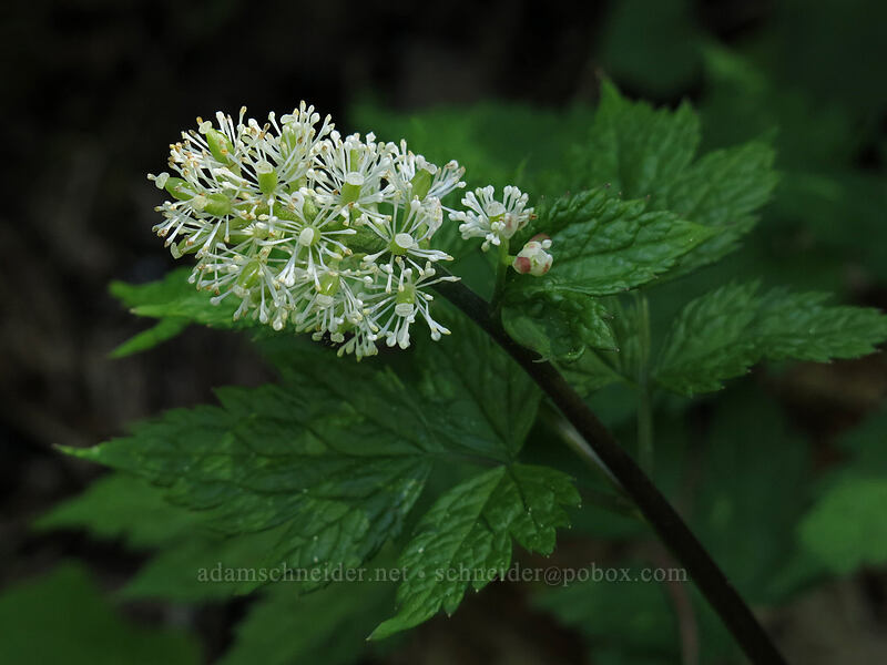 baneberry flowers (Actaea rubra) [Cone Peak Trail, Willamette National Forest, Oregon]