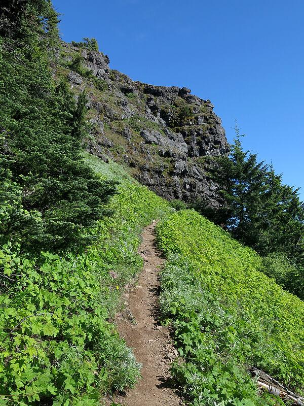 trail through thimbleberries (Rubus parviflorus) [Iron Mountain Trail, Willamette National Forest, Oregon]
