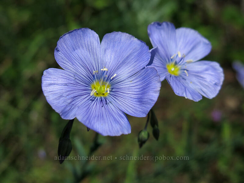 blue flax (Linum lewisii (Linum perenne var. lewisii)) [Iron Mountain Trail, Willamette National Forest, Oregon]