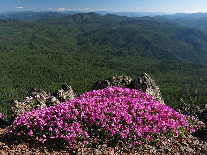 cliff penstemon (Penstemon rupicola) [Iron Mountain summit, Willamette National Forest, Oregon]