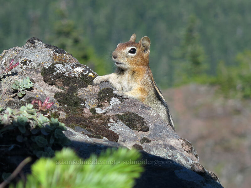 golden-mantled ground squirrel (Callospermophilus lateralis (Spermophilus lateralis)) [Iron Mountain summit, Willamette National Forest, Oregon]