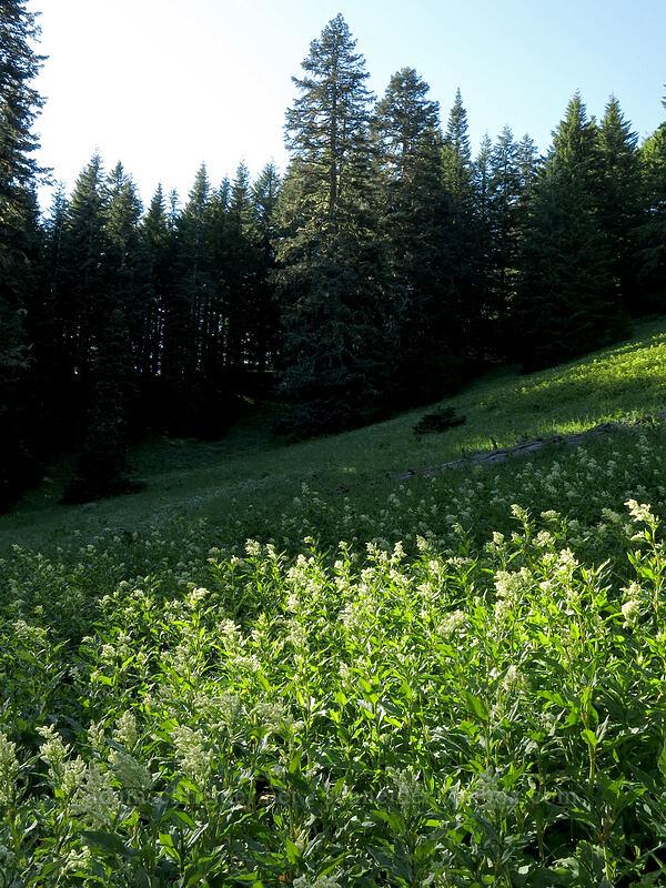 meadow full of alpine knotweed (Koenigia phytolaccifolia (Aconogonon phytolaccifolium)) [Iron Mountain Trail, Willamette National Forest, Oregon]
