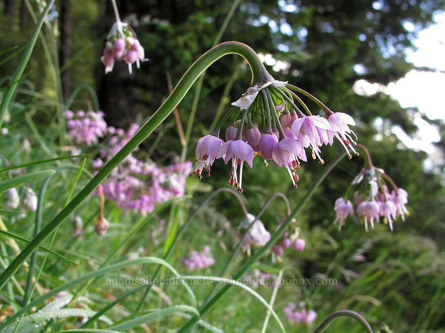 nodding onion (Allium cernuum) [Saddle Mountain Trail, Clatsop County, Oregon]