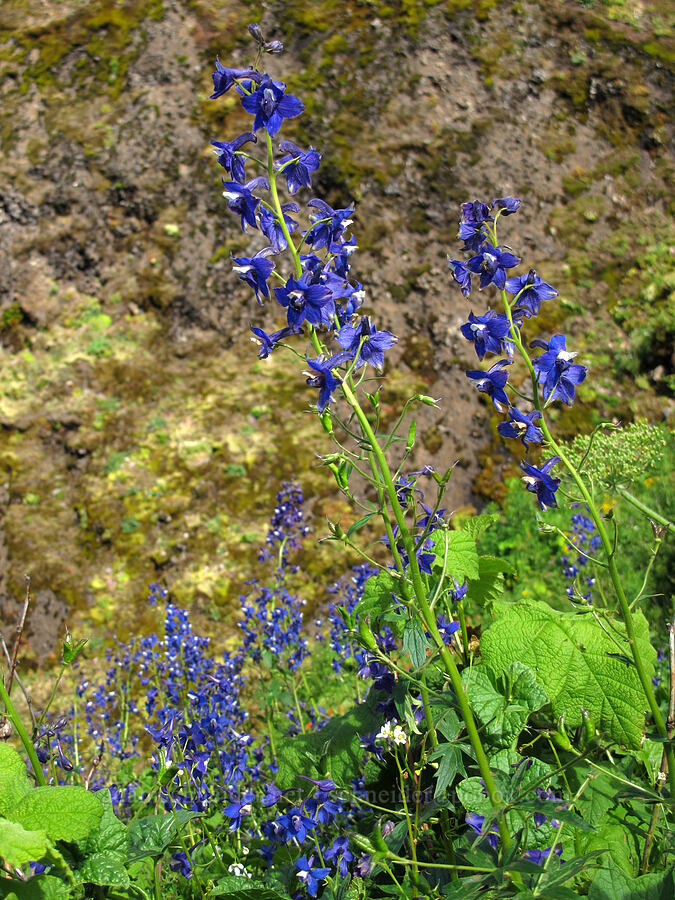 poison larkspur (Delphinium trolliifolium) [Saddle Mountain Trail, Clatsop County, Oregon]