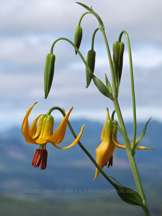 Columbia tiger lilies (Lilium columbianum) [Saddle Mountain Trail, Clatsop County, Oregon]