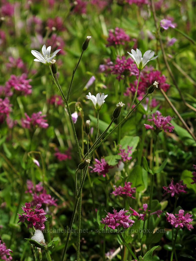 field chickweed & rosy plectritis (Cerastium arvense, Plectritis congesta) [Saddle Mountain Trail, Clatsop County, Oregon]