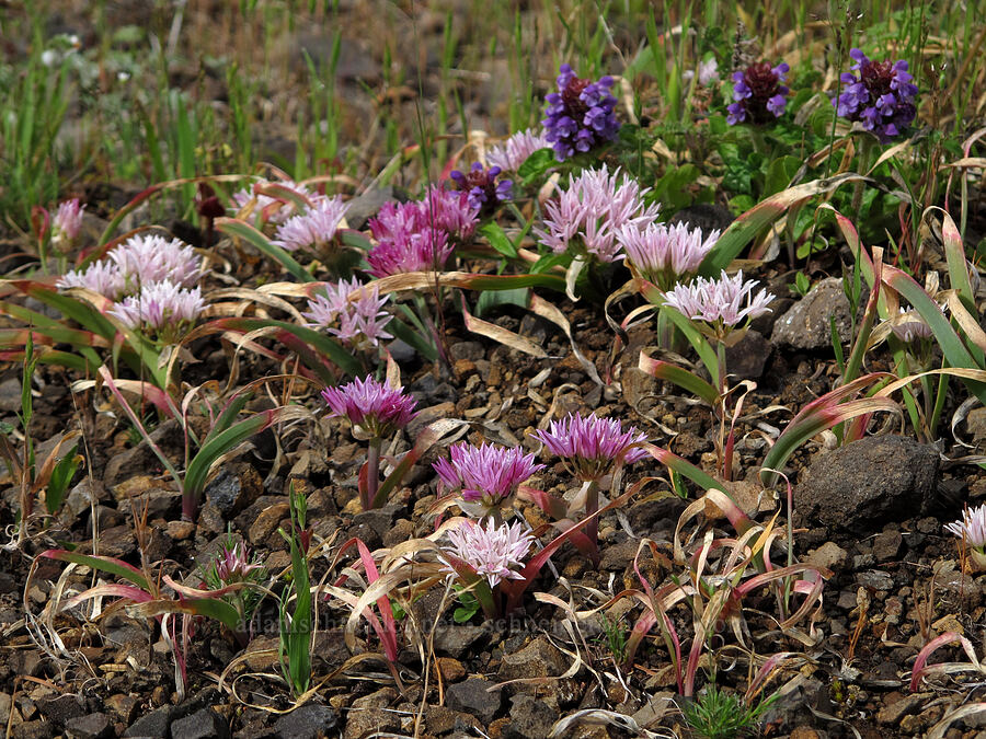 scalloped onion & self-heal (Allium crenulatum, Prunella vulgaris) [Saddle Mountain Trail, Clatsop County, Oregon]