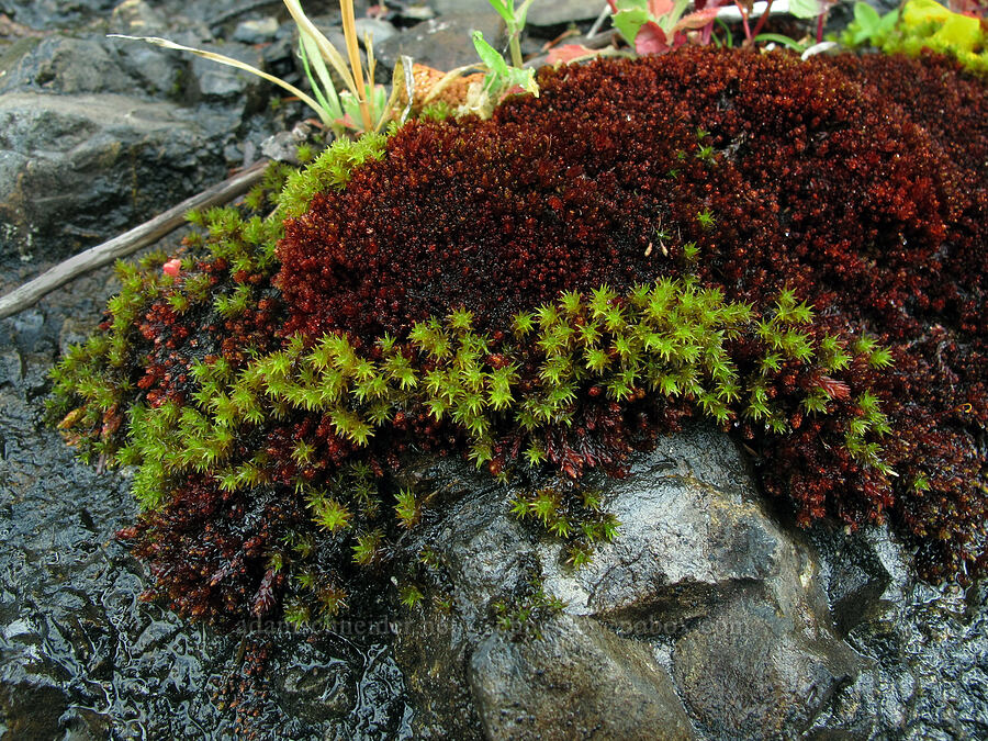two colors of moss [Saddle Mountain Trail, Clatsop County, Oregon]