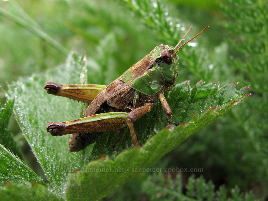 marsh meadow grasshopper (Chorthippus curtipennis) [Saddle Mountain Trail, Clatsop County, Oregon]