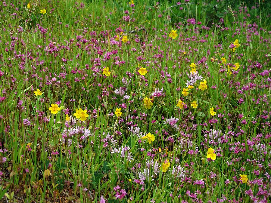 rosy plectritis, scalloped onion, & monkeyflower (Plectritis congesta, Allium crenulatum, Erythranthe guttata (Mimulus guttatus)) [Saddle Mountain Trail, Clatsop County, Oregon]