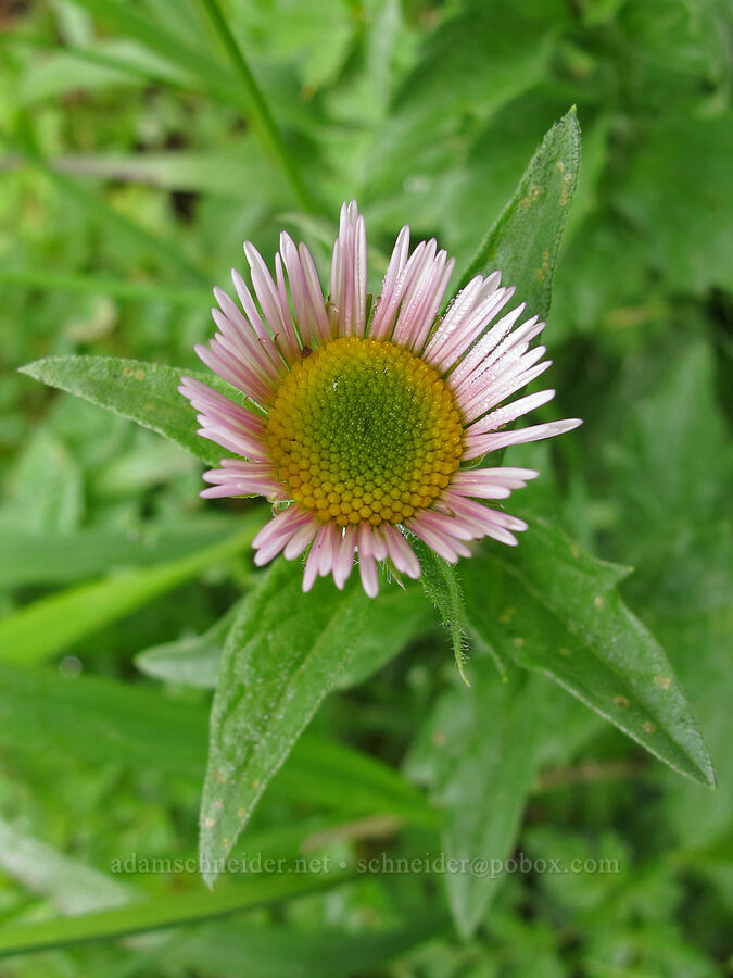 Alice Eastwood's fleabane (Erigeron aliceae) [Saddle Mountain Trail, Clatsop County, Oregon]