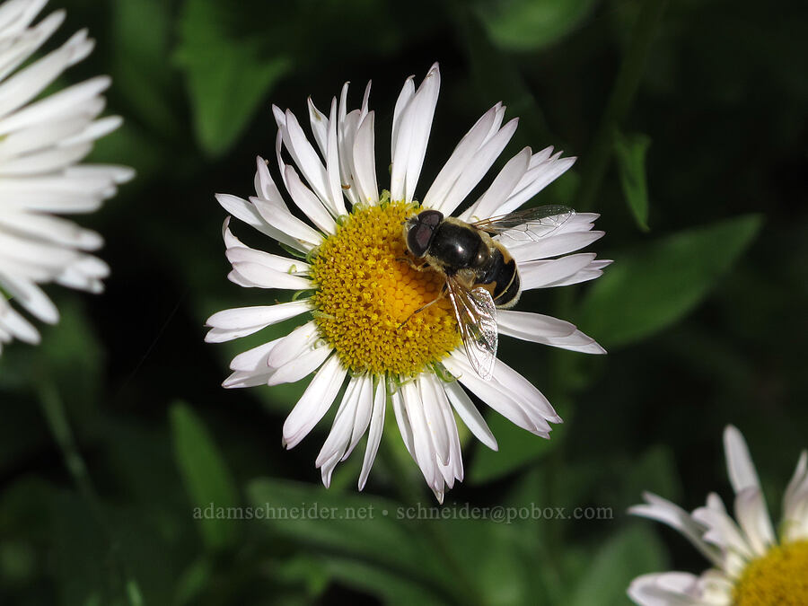 drone fly on fleabane (Eristalis hirta, Erigeron aliceae) [Saddle Mountain Trail, Clatsop County, Oregon]