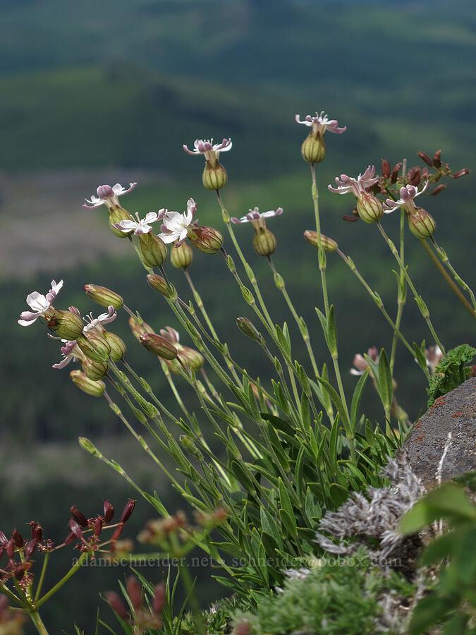 Douglas' campion (catchfly) (Silene douglasii) [Saddle Mountain Trail, Clatsop County, Oregon]