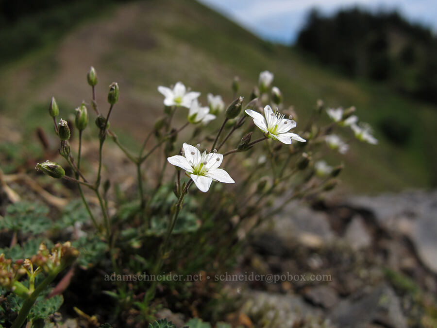 sandwort (Minuartia rubella (Arenaria rubella)) [Saddle Mountain Trail, Clatsop County, Oregon]