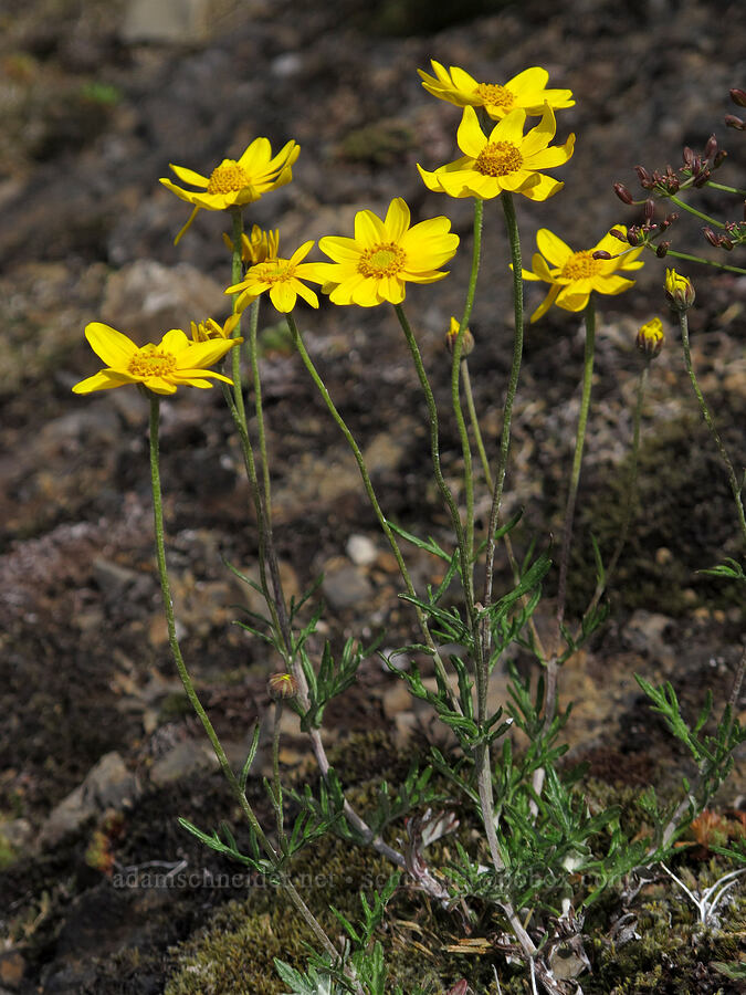 Oregon sunshine (Eriophyllum lanatum) [Saddle Mountain Trail, Clatsop County, Oregon]