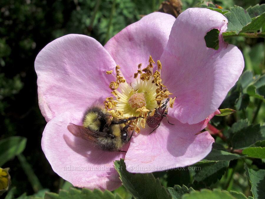bumblebee & beetle on Nootka rose (Rosa nutkana) [Saddle Mountain Trail, Clatsop County, Oregon]