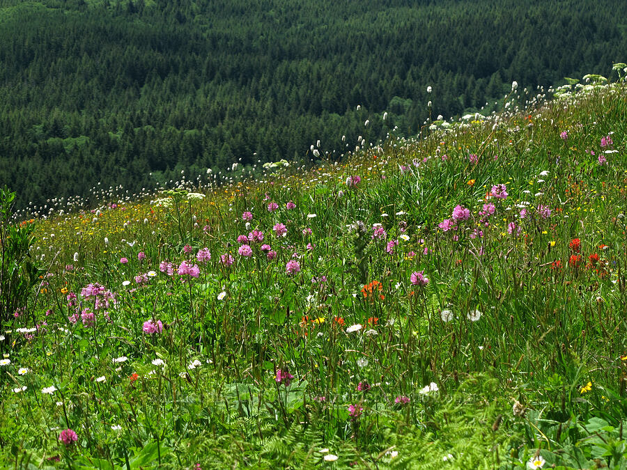 wildflowers [Saddle Mountain Trail, Clatsop County, Oregon]