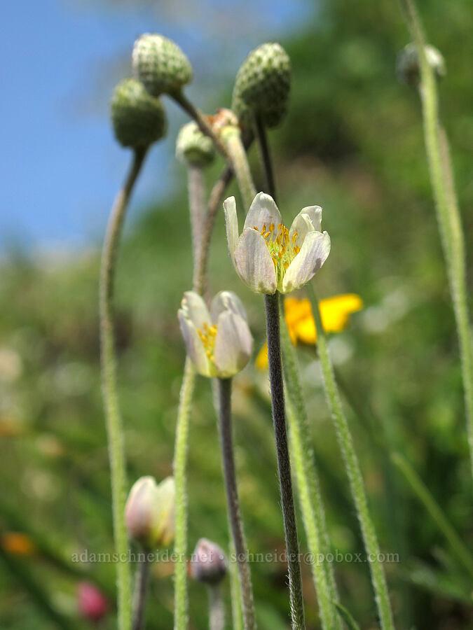Pacific anemone (Anemone multifida) [Saddle Mountain Trail, Clatsop County, Oregon]