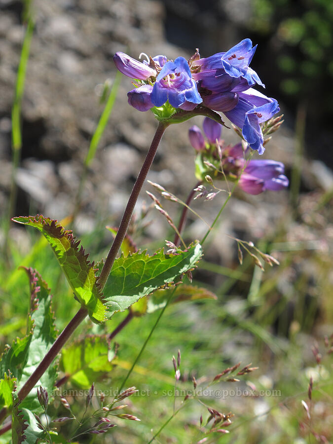 coast penstemon (Cascades penstemon) (Penstemon serrulatus) [Saddle Mountain summit, Clatsop County, Oregon]