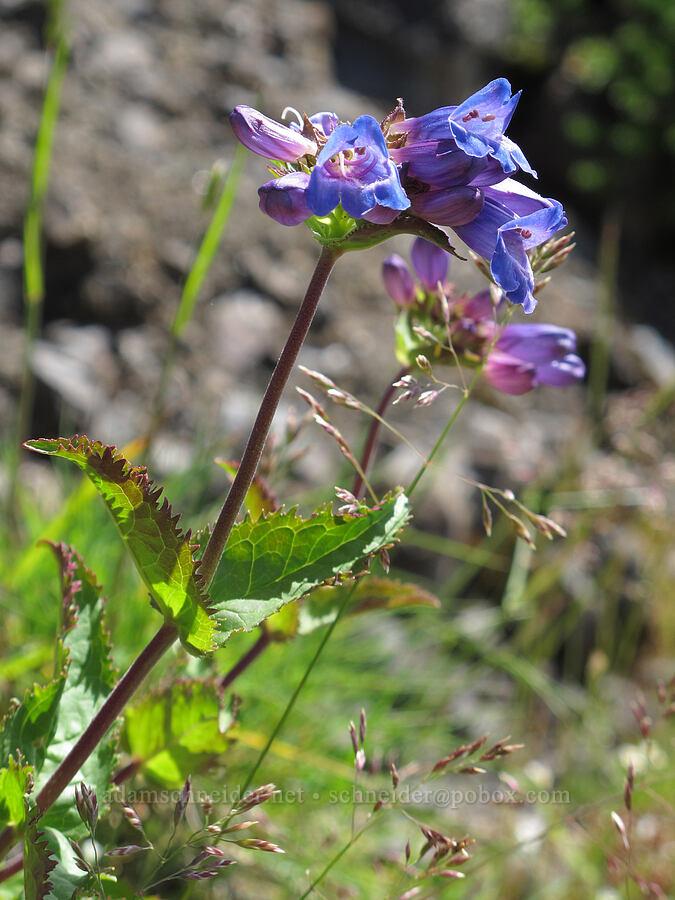 coast penstemon (Cascades penstemon) (Penstemon serrulatus) [Saddle Mountain summit, Clatsop County, Oregon]
