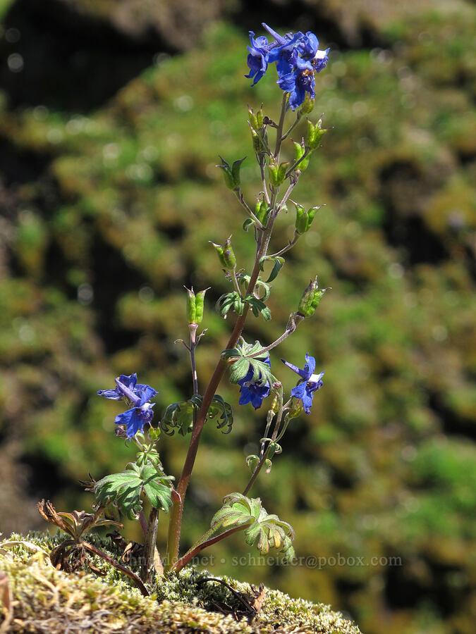 larkspur (Delphinium sp.) [Saddle Mountain summit, Clatsop County, Oregon]