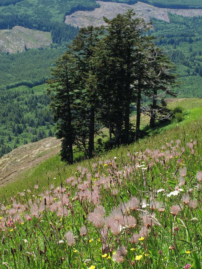 prairie smoke & conifers (Geum triflorum) [Saddle Mountain Trail, Clatsop County, Oregon]