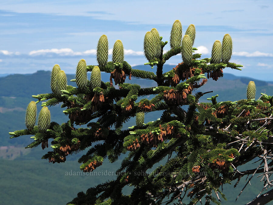 noble fir cones (Abies procera) [Saddle Mountain Trail, Clatsop County, Oregon]