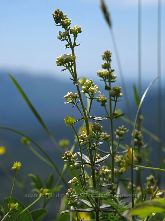 northern bedstraw (Galium boreale) [Saddle Mountain Trail, Clatsop County, Oregon]