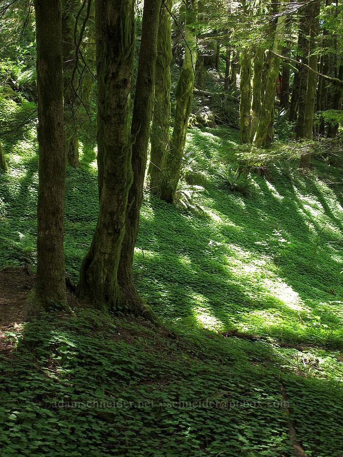redwood sorrel (Oxalis oregana) [Saddle Mountain Trail, Clatsop County, Oregon]