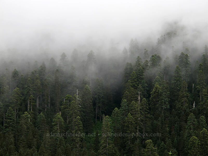 misty forest [Grouse Vista Trail, Gifford Pinchot National Forest, Washington]