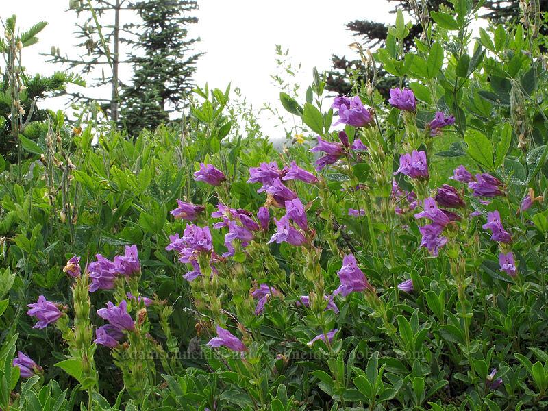 Cardwell's penstemon (Penstemon cardwellii) [Grouse Vista Trail, Gifford Pinchot National Forest, Washington]