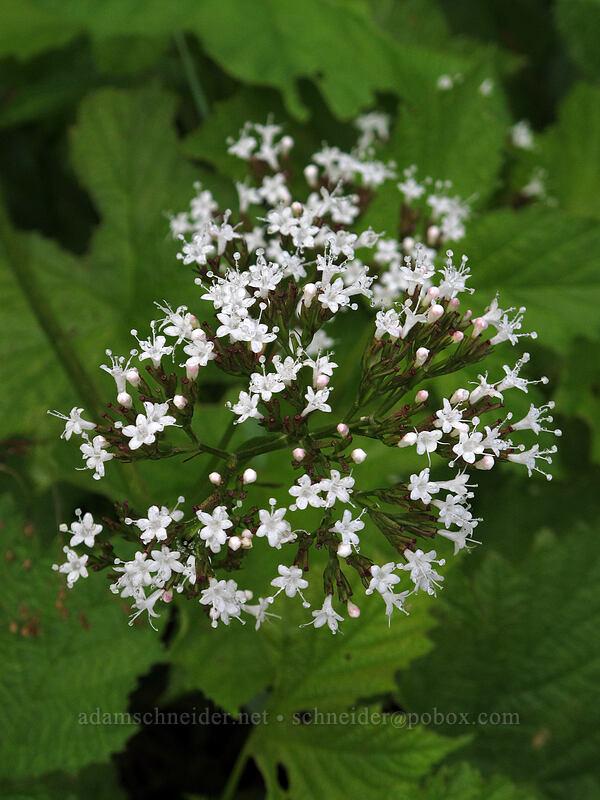 Sitka valerian (Valeriana sitchensis) [Grouse Vista Trail, Gifford Pinchot National Forest, Washington]