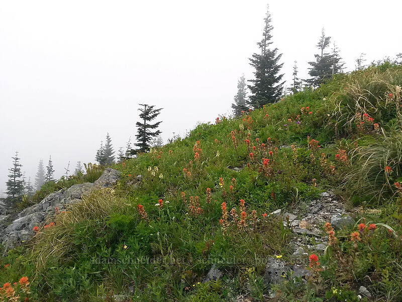 paintbrush and lousewort (Castilleja sp., Pedicularis bracteosa) [Silver Star Mountain, Gifford Pinchot National Forest, Washington]