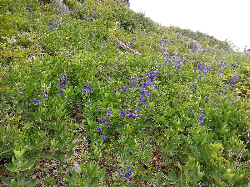 larkspur (Delphinium sp.) [Sturgeon Rock, Gifford Pinchot National Forest, Washington]