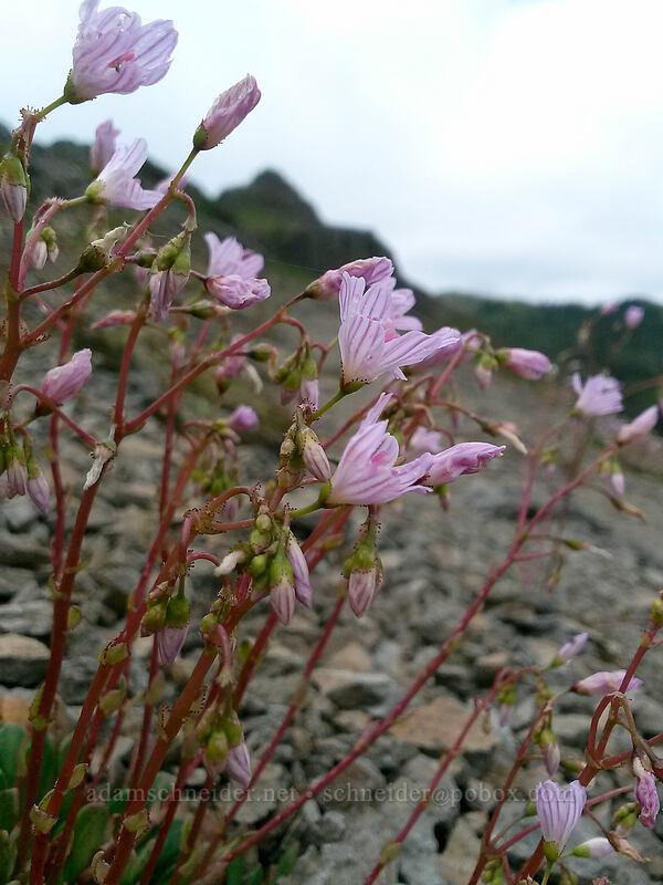 Columbia lewisia (Lewisia columbiana) [Sturgeon Rock, Gifford Pinchot National Forest, Washington]