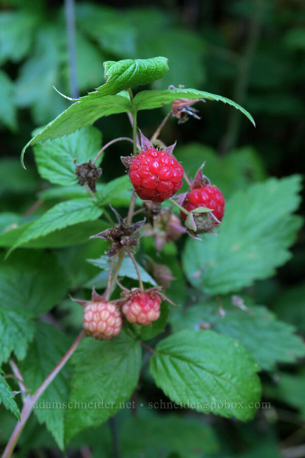 wild raspberries (Rubus strigosus (Rubus idaeus ssp. strigosus)) [Leigh Lake Trail, Kootenai National Forest, Montana]