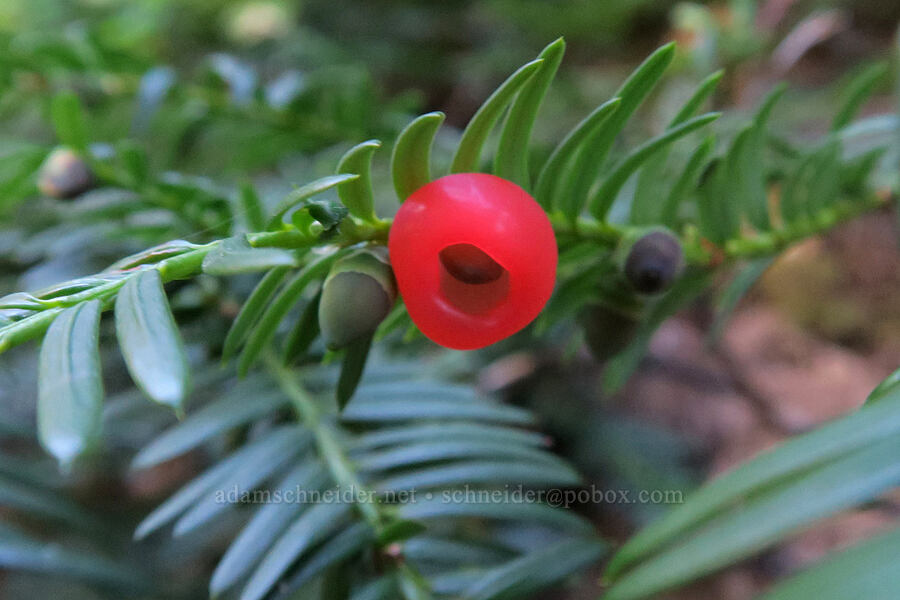 Pacific yew (Taxus brevifolia) [Leigh Lake Trail, Cabinet Mountains Wilderness, Montana]