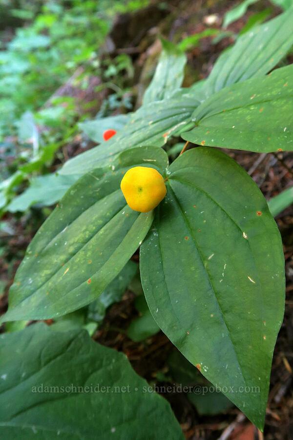 wartberry (Sierra fairy bell) (Prosartes trachycarpa (Disporum trachycarpum)) [Leigh Lake Trail, Cabinet Mountains Wilderness, Montana]