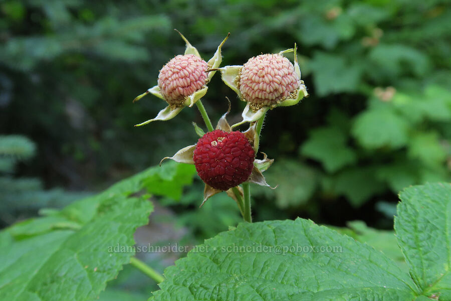 thimbleberries (Rubus parviflorus) [Leigh Lake Trail, Cabinet Mountains Wilderness, Montana]